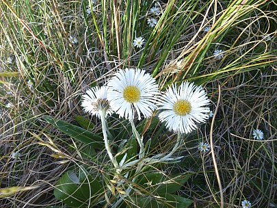 2019-01-15 09.11.44 P1050676 Philip - mountain daisy.jpeg: 4320x3240, 6088k (2019 Jun 24 09:12)