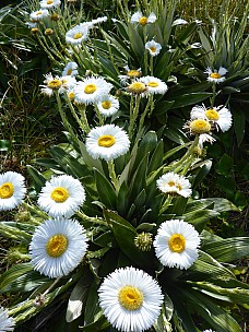 2019-01-15 10.04.13 P1020460 Simon - alpine daisies.jpeg: 3456x4608, 5404k (2019 Jun 20 09:11)